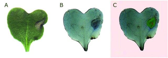A. Leaf of rape with lesion. B. The same leaf coloured by trypan blue. C. The result of image segmentation: pink colour highlights the background and green colour marks the detected lesion.